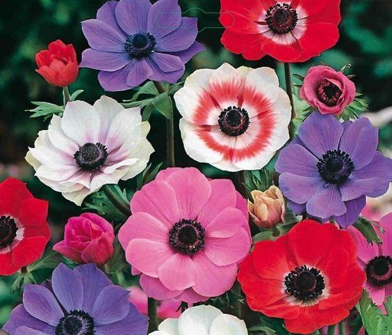 anemonen in bloei