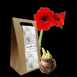 amaryllis in cadeauverpakking personaliseerbaar als relatiegeschenk