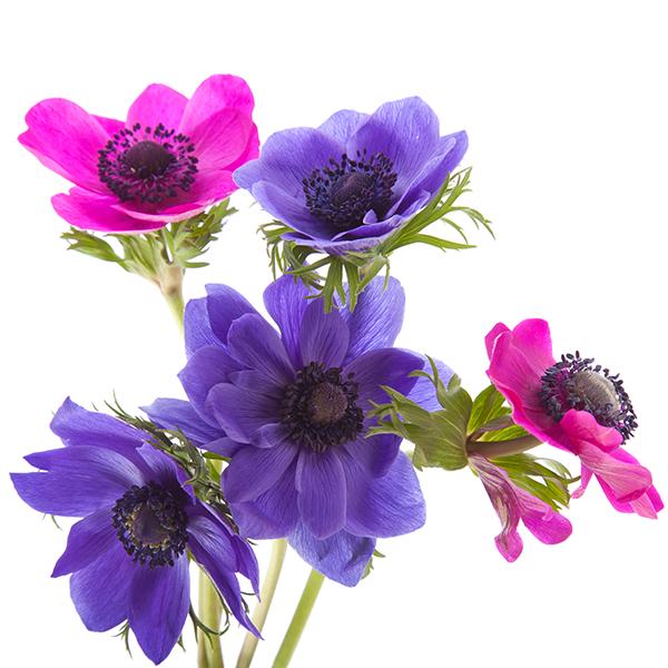 anemoon bloemetjes in rose en paars bedank cadeau